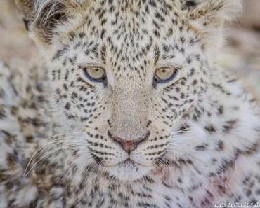 A la rencontre des léopards à Okonjima – Namibie